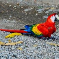 """многоцветный попугай """"ара"""" :: Георгий"""