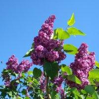 Соцветия весны :: Стас Борискин (Stanisbor)