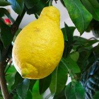 Интерьер квартиры,  украшенный лимонным деревом :: Милешкин Владимир Алексеевич