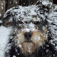 Снежный пёс :: Светлана Рябова-Шатунова