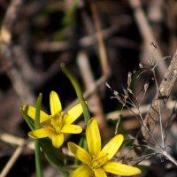 первые цветы :: Кристина Юричковская