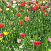Тюльпаны :: Mariya laimite