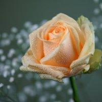 Роза. :: kvstu