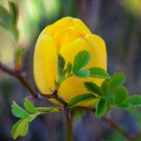 Желтый тюльпан :: Оксана Н.
