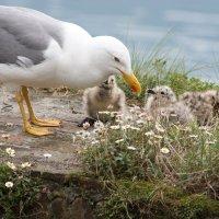 Чайка с птенцами :: ZNatasha -