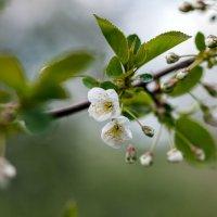 Цветы яблони) :: Лилия Масло