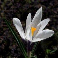 Первоцветы/ Белый крокус :: Дубовцев Евгений