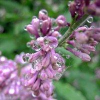 Сиреневый дождь :: Ольга