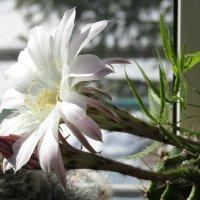 Вчерашний бутон превратился в прекрасный цветок! :: Vladimir Perminoff