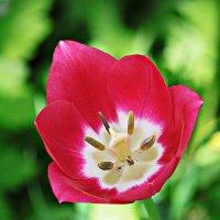 Тюльпан в гламуре. :: Dad