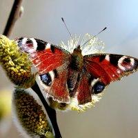 павлиний глаз на апрельской пыльце 1 :: Александр Прокудин