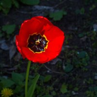 тюльпан IMG_3335 :: Олег Петрушин