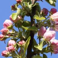 Яблоня цветет :: yusuf alili