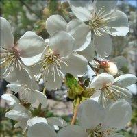 Цветущая вишня :: Нина Корешкова