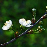 Цветок вишни. :: Юрий Гординский