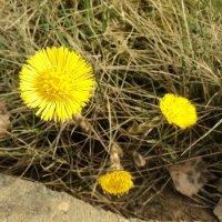 первые весенние цветы - мать - и - мачеха :: Maryana Petrova