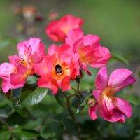 Розы цветут :: Наталья Булыгина (NMK)