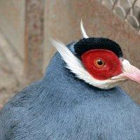 Ушастый фазан :: Татьяна Ларионова