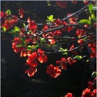 Весны цветенье :: Ирина Беркут
