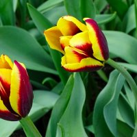 Тюльпаны апреля :: Милешкин Владимир Алексеевич
