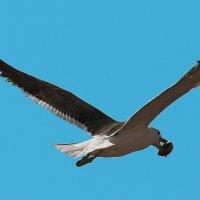 Чайка несёт Раковину. Птицы :: Jakob Gardok