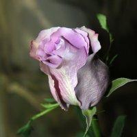 Роза цвета сирени :: Алла Григоренко