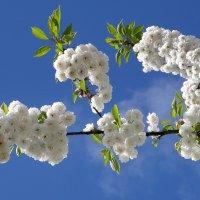Сады цветут :: Валентина Коряченцева