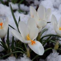 первые цветы :: Sergey Chelishev