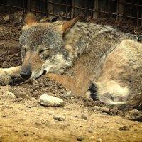 Волк :: Ирина Олехнович