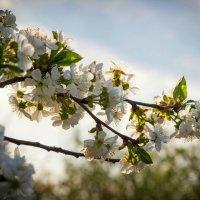 Цвет вишни. :: Валентина Домашкина