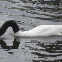 Межигорье. Черношейный лебедь на пруду :: Елена Павлова (Смолова)