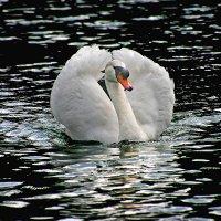 Лебедь. :: Jakob Gardok