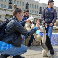 Ты – лучшая собака на земле, Сибирский хаски! :: Дмитрий Иванцов