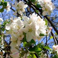 белый цвет-жёлтые яблочки... :: Галина Филоросс