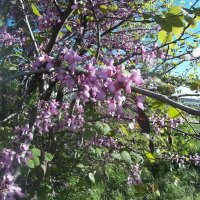 иудино дерево :: Giant Tao /