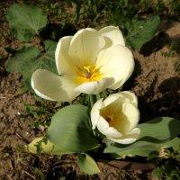 ~Белые тюльпаны~ :: Наталья