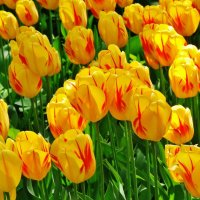 Майская радость цветения :: Aida10