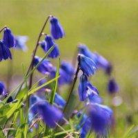 Брызги синих цветов распускает весна .. :: Татьянка *