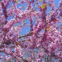 Цвет иудова дерева :: Галина