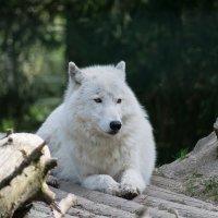 Полярный волк :: Nata_li В.