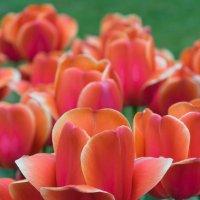 Цветущие тюльпаны :: Nata_li В.