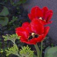 Махровые тюльпаны :: Дубовцев Евгений