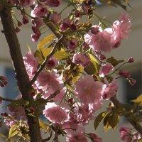Ханами - это любование сакурой... :: Syntaxist (Светлана)