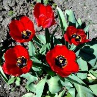 Тюльпаны :: Татьяна Королёва