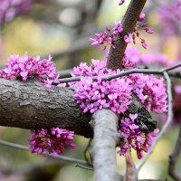 Иудино дерево (Cercis siliquastrum) :: Олег Шендерюк