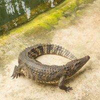 Шоу крокодилов в Тайланде :: Ольга Горд