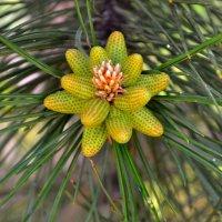 Сосновый  цветок :: Геннадий