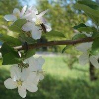 Весна, цветущая яблоня с пчелкой :: Наталья Дорошенко
