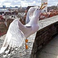 Питомцы старого Таллина :: veera (veerra)