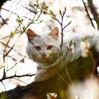 Apricot cat :: Олег Шендерюк